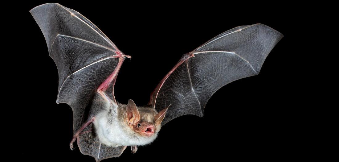 Being a Bat